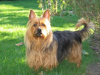 australian terrier beauty