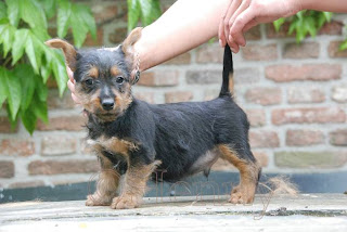 cute australian terrier pups