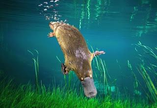 platypus pictures