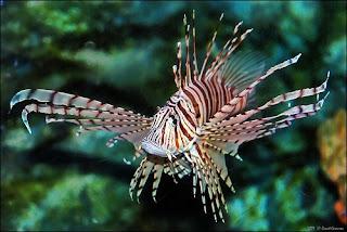venemous scorpionfish