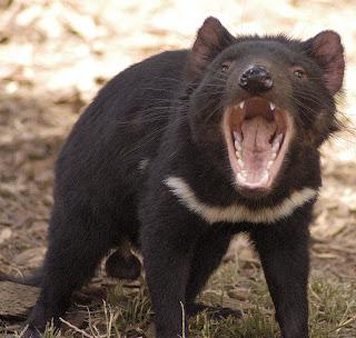 tasmanina devil very angry