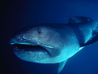 The Big Megamouth Shark