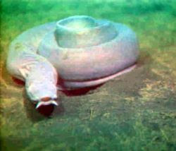 Hagfishes swimming
