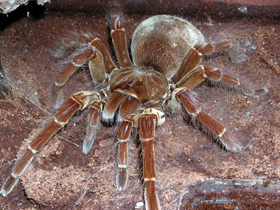 _theraphosa_blondi_.jpg