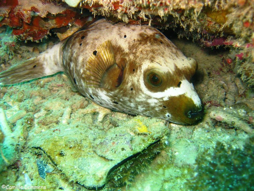 Padi diving and instructor development idc around for Dog face puffer fish