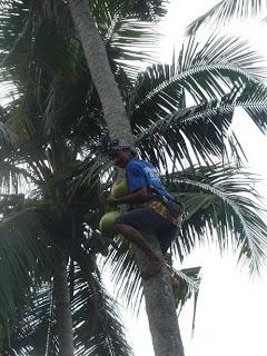 Kokosnoten plukken in de tuin van Villa Sabandari, een boutique hotel met zicht op de rijstvelden, vlakbij Ubud, Bali