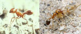 3 Semut yang Paling Mematikan di Dunia