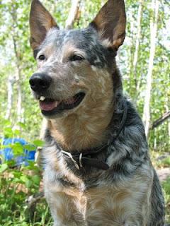 10 Anjing Terpintar di Dunia