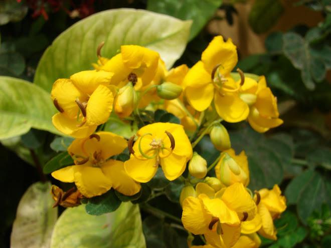 Botones Amarillos alimento de ''ABEJORROS'' polinizantes 2010