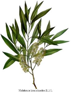 http://2.bp.blogspot.com/__Y1hxXhoruI/TBhJmsH9n4I/AAAAAAAAAHs/lETLGpWQlkE/s320/tea_tree_oil.png