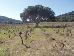 Oak tree in the vineyard