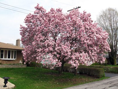 Magnolia Tree Bloom Toronto Etobicoke