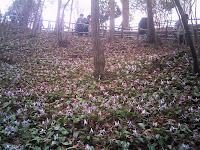 湿原いっぱいのカタクリ