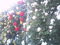 フェンス仕立てのバラ