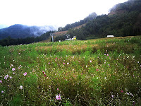 ほうのき平スキー場のコスモス畑