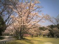 野外演舞場の桜並木