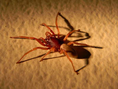 Michigan Spiders - Woodlouse Hunter-1