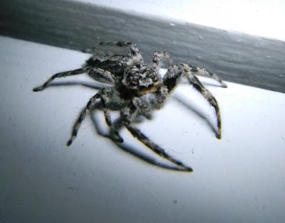 Michigan Spiders - Jumping Spider-2