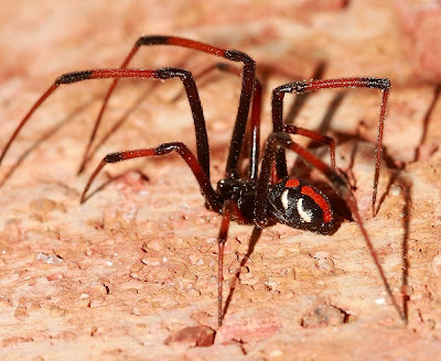 Michigan Spiders - Northern Black Widow Spider-3