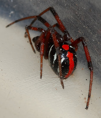 Michigan Spiders - Northern Black Widow Spider-2