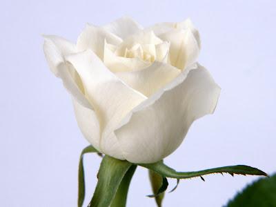 white rose flowers. white rose flowers.