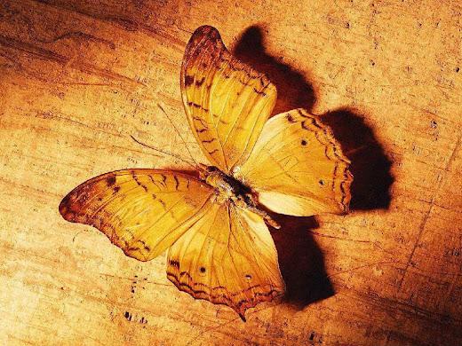 dulu saya pernah posting gambar kupu kupu yang cantik kali ini tidak ...