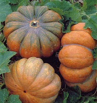 Nice image showing musquee provence pumpkin