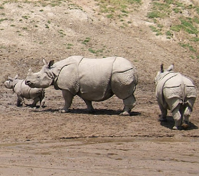 Animales salvajes en su habitad. Rinoceronte+-+Indian_Rhinoceros