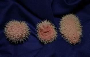 [Image: hedgehog-babies42.jpg]