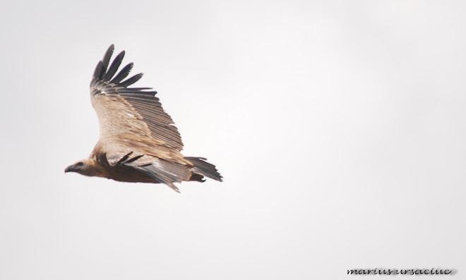 gyps fulvus( vultur sur, fakokeselyu, gansgeier, vautour fauve, griffon vulture)