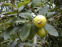 Fruits and leaves of apple guava (Psidium guajava)