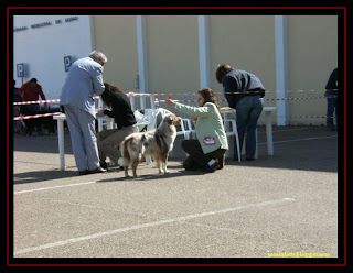 australian shepherd and golden retriever in elvas dog show