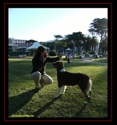 australian shepherd in estoril dog show