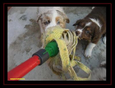 cachorros pastor australiano com 6 semanas