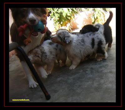 cachorros pastor australiano com 7 semanas