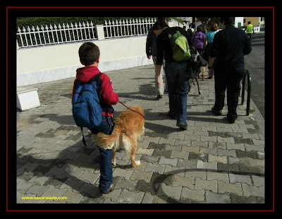 Golden Retriever in dog trekking