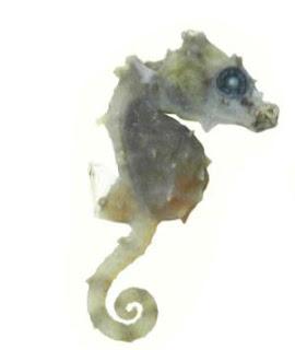 Hippocampus Satomiae