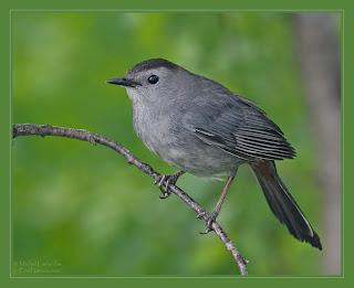 Jack 39 s trap le petit oiseau de toutes les couleurs for Petit oiseau gris