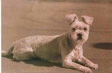 PACHI (Una mezcla entre Fox Terrier y Maltés)