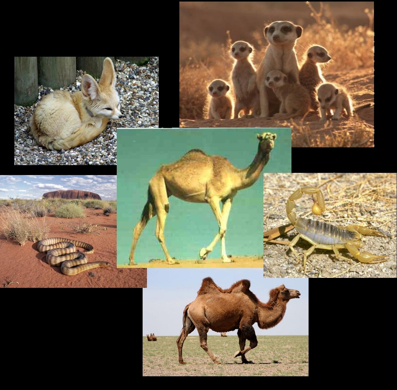 imagenes de animales que viven en el desierto - Animales del desierto Dibujos para colorear
