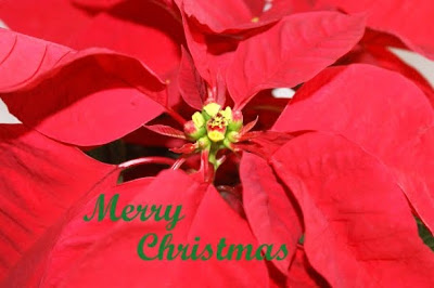 Christmas Poinsettia Flower Wallpaper