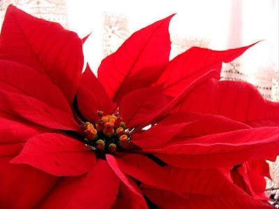 free poinsettia christmas wallpaper