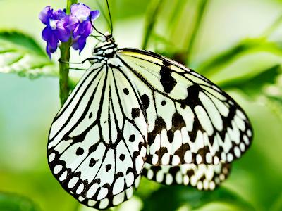 butterfly wallpapers. Fantasy Butterfly Wallpaper
