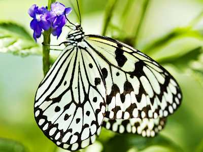 butterfly wallpaper. utterfly wallpaper