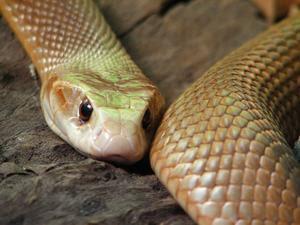 http://2.bp.blogspot.com/__nSYviEpqig/SRYhB_uqC4I/AAAAAAAABOs/x6h57rSKkaA/s320/999727-AUSTRALIA-ZOO-Taipan-Snake--Serpiente-Taipan-0.jpg