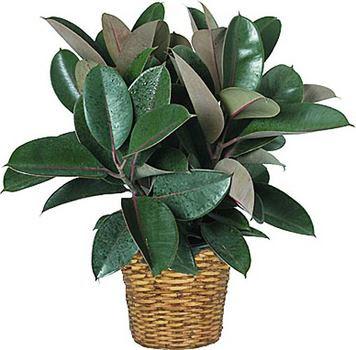 http://2.bp.blogspot.com/__oGrdRiAnwI/SkPk8bYTk1I/AAAAAAAAADY/t0SZMV1H26Q/s400/Blog+Post+-+Plants+-+Rubber+plant+1stinflowers.jpg