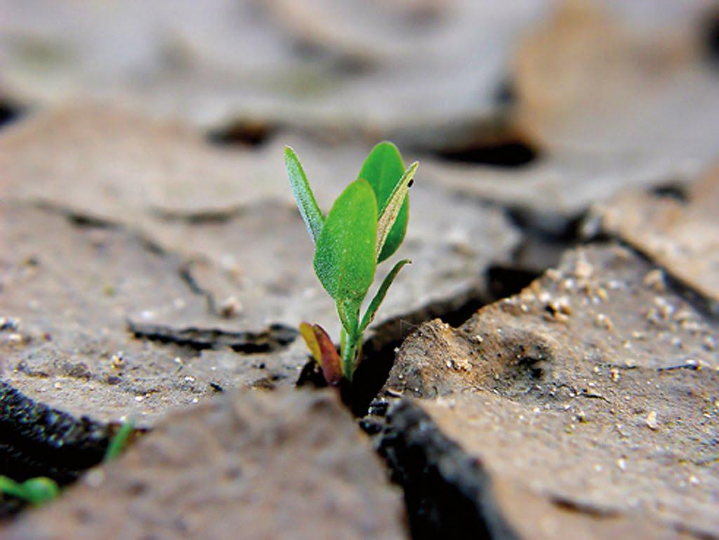 la falsa semina