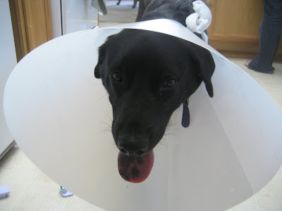 You can't tell, but that dog is super-pissed right there, since we had to put a bigger cone on him.