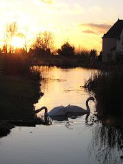 Viva La French Swans