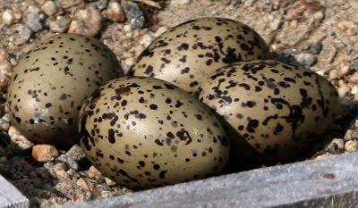 4 egg